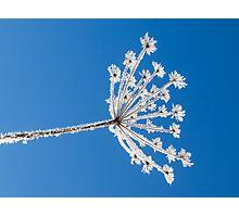 Frozen dried plant Photographic Print