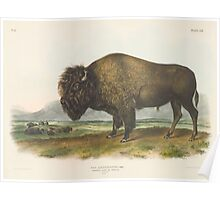 John James Audubon - Bos americanus, Gmel, American Bison or Buffalo. 1-7   Male.1845 Poster