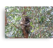 Koala in a tree, Morialta Conservation Park, S.A. Canvas Print