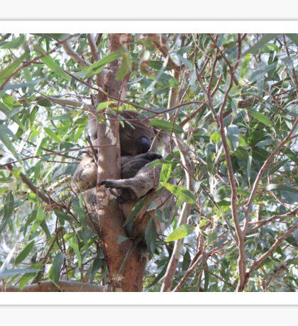 Koala in a tree, Morialta Conservation Park, S.A. Sticker