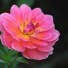 Dahlia Beauty by John Dalkin