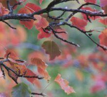 Autumn leaves, Mount Lofty Botanical Gardens,S.A. Sticker