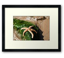 Orange Starfish on Green seaweed Framed Print