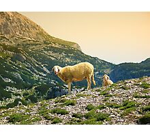 Sheep on the hill Photographic Print