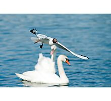 Black headed Gull in flight  Photographic Print