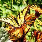 Tiger Swallowtail on Yellow Wildflower by Susan Savad