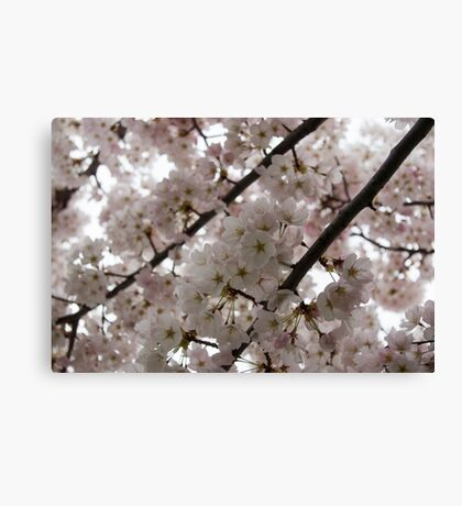A Cloud of Cherry Blossoms Canvas Print