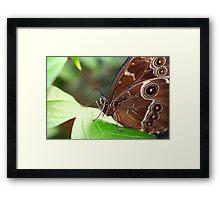 Morpho Up Close Framed Print