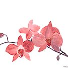 Pink orchid flowers by Monika Howarth