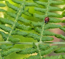 Lady Bug on Fern by LauraZim