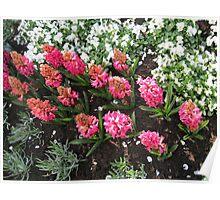 Deep Pink Hyacinths - Keukenhof Gardens Poster