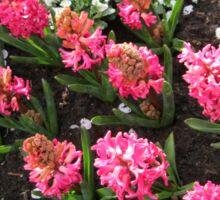 Deep Pink Hyacinths - Keukenhof Gardens Sticker