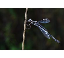 Danderfly Photographic Print