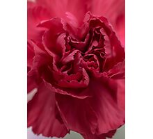 Carnation Photographic Print