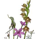 Orchids of Australia 3 native orchids of Western Australia by Leonie Mac Lean