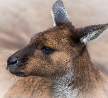 Eastern Grey Kangaroo by Bette Devine