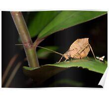 Leaf-mimic katydid, Peru Poster