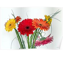 Many gerberas in white Poster