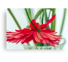 Withered gerberas Canvas Print