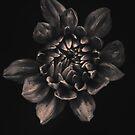 Dahlia in monochrome by alan shapiro