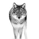 Coyote in Black and White by Jim Cumming