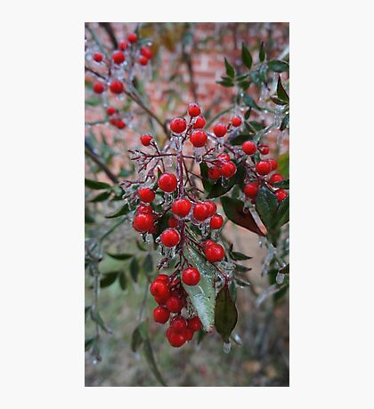 Frozen Holly Photographic Print