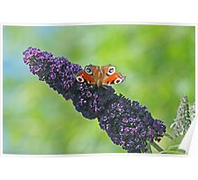 Peacock Butterfly on Budleia Poster