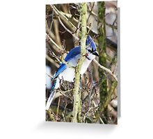 The Birds - sly blue jay (2011) Greeting Card