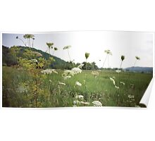 Queen Anne's Lace - Lomo Belair Photograph Poster
