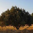Olive tree by rasim1