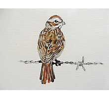 sparrow on barbed wire Photographic Print