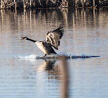 Canada Goose Water Landing by Deb Fedeler