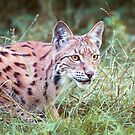 Lynx in the grass by Dominika Aniola