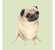 Sweet Fawn Pug Photographic Print