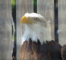American Bald Eagle by swiftwolf