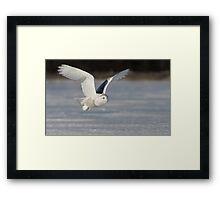 Snowy Owl flyby Framed Print