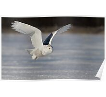 Snowy Owl flyby Poster