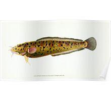 The Natural History of British Fishes Edward Donovan 1802 045 Poster