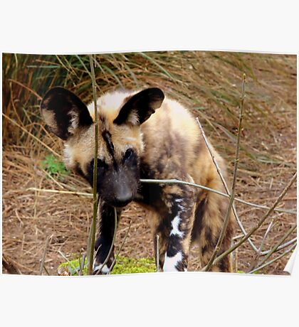 Young African Hunting Dog and Twig Poster