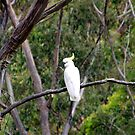 Sulpher-Crested Cockatoo in the Bush by Asoka