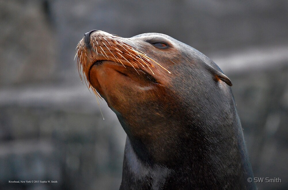 Zalophus Californianus - California Sea Lion | Riverhead, New York by © Sophie W. Smith
