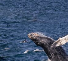 Humpback whale breaching Sticker