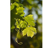 Mediterranean Grape Vine Photographic Print