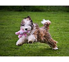 Indy the Tibetan Terrier  Photographic Print