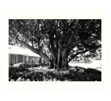 Moreton Bay Fig Art Print