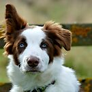 I'm Listening! - Border Collie - NZ by AndreaEL