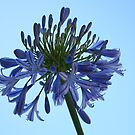 Blue Agapanthus by Robyn Williams