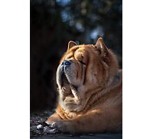 Chow-Chow portrait Photographic Print