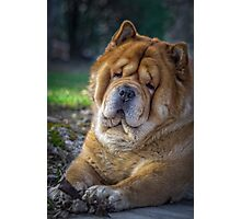 Cute chow dog portrait Photographic Print