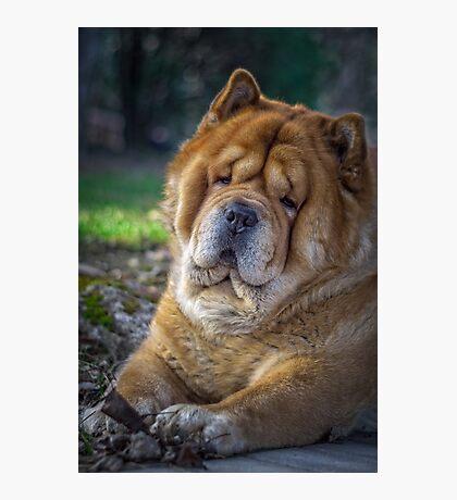 Cute chow dog portrait Photographic Print